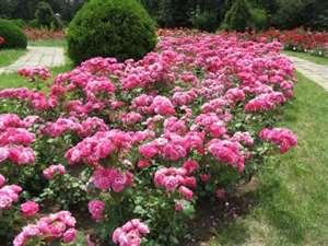 Alei cu trandafiri