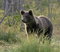 Urs in pădure