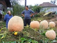 Cultivarea cartofului și dovleacului la Gostila
