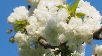 cherry-blossom-1260647_960_7201-300x180-546x300